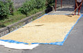 Drying rice on the street in bali Stock Image