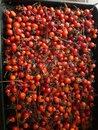 Drying rosehips. Organic canadian wild Rose's wild rose fruit, rosehips, canada wild plants, wild edibles Royalty Free Stock Photo