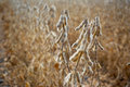 Drying soybeans ripe in a field after defoliation ready to be harvested Stock Photos