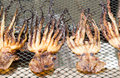Drying squid on net Royalty Free Stock Photo