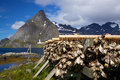 Drying of stockfish on Lofoten Stock Images