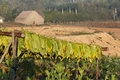 Drying tobacco on cuban fields wooden stands vinales cuba Stock Photography