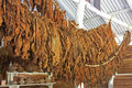 Drying of tobacco leaves the classic method in the barn Royalty Free Stock Photography