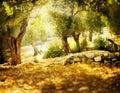 Drzewa oliwne Zdjęcie Stock