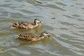 Dual Mallard Ducks Royalty Free Stock Photo