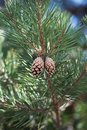Dual Pine Cones On Branch Royalty Free Stock Photo