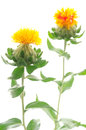 Duas flores do safflower Fotos de Stock Royalty Free