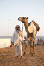 Dubai camel racing club camels taken for warm up walks Royalty Free Stock Photo