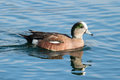 Duck - American Wigeon Water Fowl Royalty Free Stock Photo