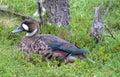 Duck Bird On Green Grass
