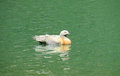 Duck bird swiming gray brown feather and green head solo in the water in a lake Stock Photo