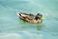 Duck bird swiming gray brown feather and green head solo in the water in a lake Stock Images