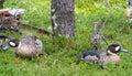 Duck Birds On Green Grass