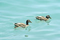 Duck birds swim in water Royalty Free Stock Photo