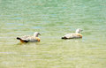 Duck birds swiming in water gray brown feather and green head bird solo the a lake a blue lake Royalty Free Stock Image