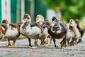 Duck brood back home along the asphalt path Stock Photography