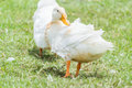 Duck chase field behavior on the farm Royalty Free Stock Photo