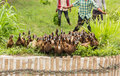 Duck chase field duck eggs thailand countryside Royalty Free Stock Photos