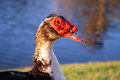 Duck close up of a red faced Royalty Free Stock Photography