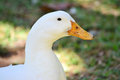 Duck close up of white in nature park Royalty Free Stock Photo