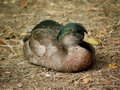Duck a closeup of a resting Royalty Free Stock Image