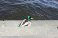 Duck drake on the stone steps near the river Royalty Free Stock Photo