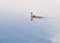 Duck and duckling an adult female is swimming on the dnieper river followed by her family Royalty Free Stock Photos