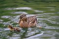 Duck with duckling female swimming Royalty Free Stock Photo