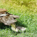 Duck and duckling on the grass outdoor photo Stock Photos