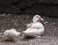 Duck with duckling muscovy carina moschata Stock Photos