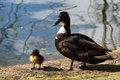 Duck and duckling standing at waters edge Stock Image