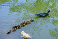 Duck and duckling taken in a lake in the tampa campus of the university of south florida Stock Photos