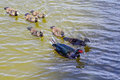 Duck and duckling taken in a lake in the tampa campus of the university of south florida Royalty Free Stock Images