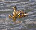 Duck with Ducklings Royalty Free Stock Photo