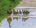 Duck and with ducklings crossing a path on reflected in pool of water Royalty Free Stock Photos