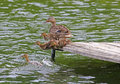 Duck and ducklings jumping into a lake four fluffy young their mother are off dock Royalty Free Stock Images
