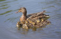 Duck with ducklings in the water little Royalty Free Stock Photography
