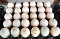 Duck eggs Royalty Free Stock Photo