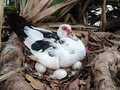 Duck and eggs. The future mother  , wildlife duck in a farm Royalty Free Stock Photo