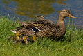 Duck family at the lake Royalty Free Stock Photography