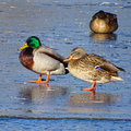 Duck family male female ducks winter lake ice Royalty Free Stock Photography