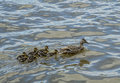 Duck family nice swimming in a river Royalty Free Stock Photo