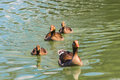 Duck family swimming along the river Royalty Free Stock Photography