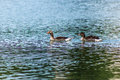 Duck family swimming along the river Stock Images
