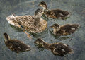 Duck family swimming muther and young ducks together on river Stock Photo