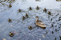 Duck family swims in the lake in afternoon light Stock Image