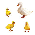 Duck family three little ducklings mother duck isolated lllustration white background Stock Photography