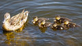 Duck family walk along the river Royalty Free Stock Photo