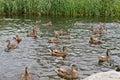Duck feeding frenzy Royalty Free Stock Photo