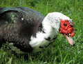 Duck feeding on grass Royalty Free Stock Images